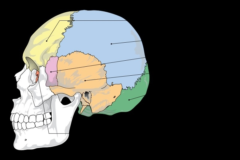 En la cabeza hay numerosos huesos